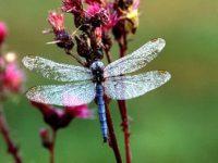 Libellen online – Datenplattform in Bayern